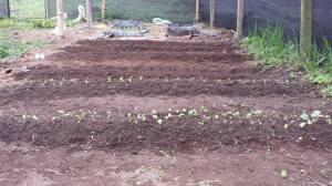 RMV seedlings organic garden